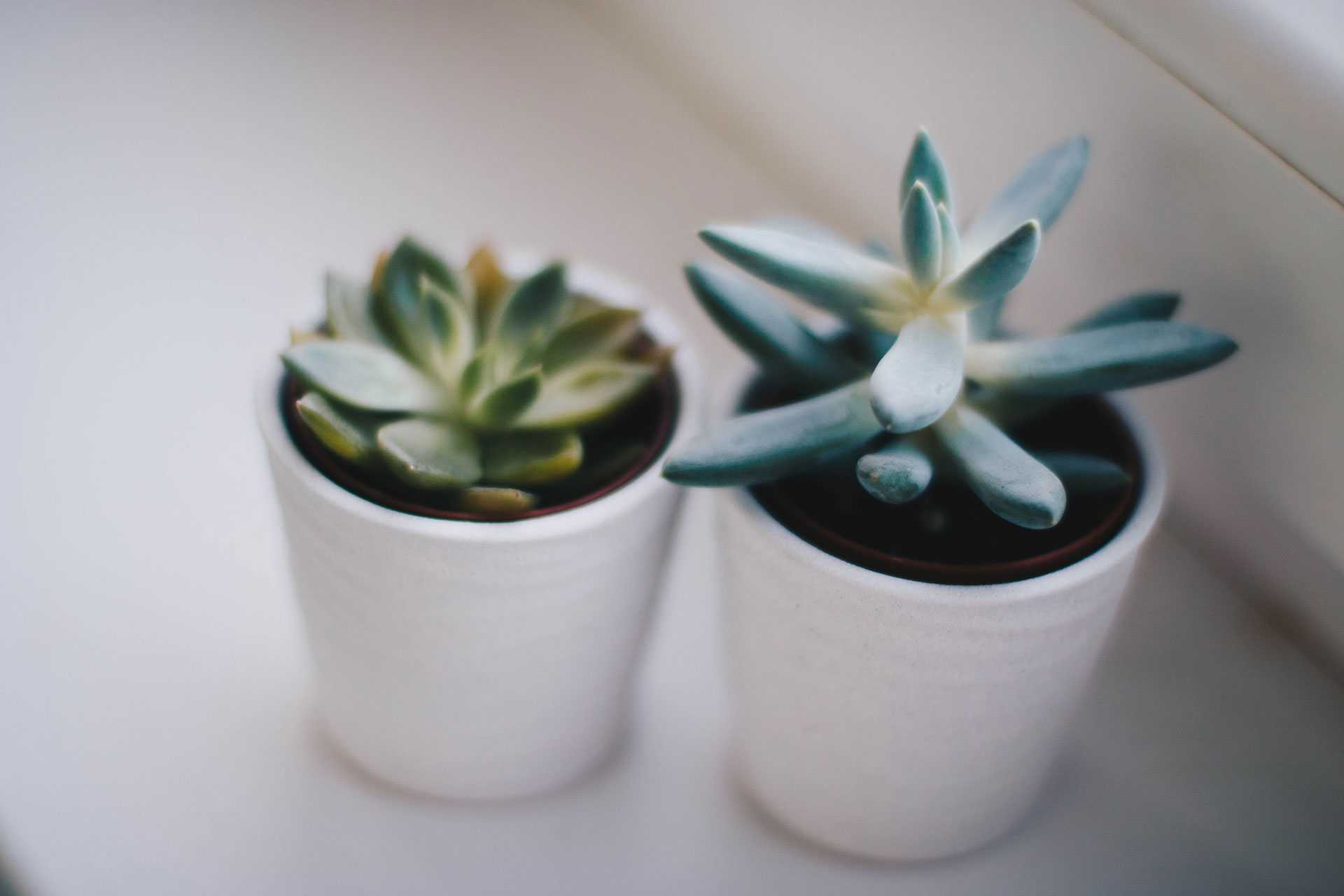 Two growing succulent plants